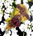 Jagged Ambush Bug - Phymata