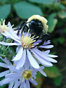 Bombus on aster - Bombus affinis - female