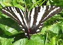 Zebra Swallowtail Butterfly (Ohio, September) - Eurytides marcellus