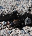 cricket - Gryllus pennsylvanicus - female