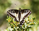 Damaged butterfuly ID help needed - Papilio zelicaon
