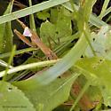 Chinese Mantid? - Tenodera sinensis