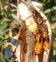 On milkweed - Oncopeltus fasciatus