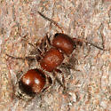 small velvet ant - Pseudomethoca frigida - female