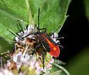 Hemiptera nymph - Boisea trivittata