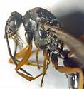Hymenoptera - Ichneumonidae? - Formica
