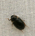 Tiny Beetle - Enochrus