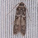 Blastobasis glandulella - Acorn Moth - Hodges#1162 - Blastobasis glandulella