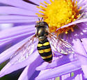 Syrphid fly on aromatic aster - Eupeodes