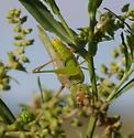 Unknown Katydid? - Orchelimum agile - male