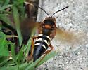 Cicada Killer In Flight - Sphecius speciosus - female