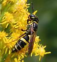 Wasp [Philanthus?] ID Request - Philanthus gibbosus - female