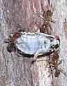 Unknown treehopper being dragged along by ants. - Platycotis vittata