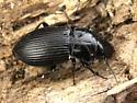 Anisodactylus? - Anisodactylus agricola - male