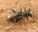 small clerid - Phyllobaenus