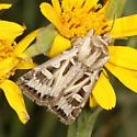 moth - Feltia inyoca