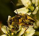 beetle - Lepturobosca chrysocoma