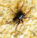 Small spider ID - Allocosa funerea