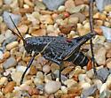 Eastern Lubber - Romalea microptera - female