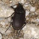 Vivid Metalic - Ground Beetle - Chlaenius tomentosus - male