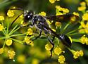 Isodontia sp.? - Isodontia mexicana
