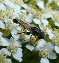 Syrphid fly - Neoascia? - Syritta pipiens