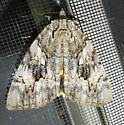 Catocala cerogama - Yellow-Banded Underwing - Catocala cerogama