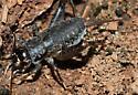 Under rocks - Velarifictorus micado - female