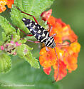 Longhorned Beetle - Placosternus difficilis