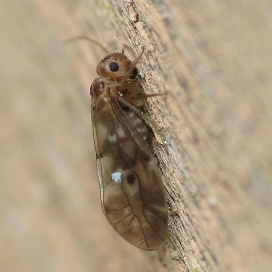 Peripsocus? - Peripsocus subfasciatus - female