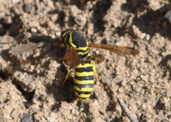 Wasp - Pseudomasaris - female