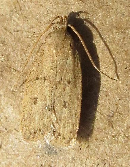 Gelechiidae - Glyphidocera