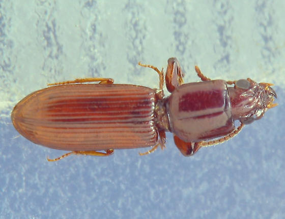 red-brown ground beetle - Clivina impressefrons