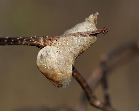 Possible Praying Mantis egg case - Mantis religiosa