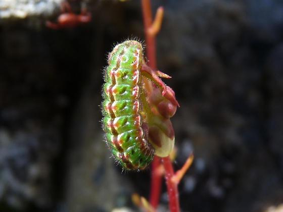 Caterpillar on Spotted Saxifrage (Saxifraga bronchialis) - Plebejus glandon