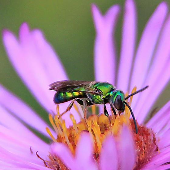 Sweat Bee on Aster - Augochlora pura - male
