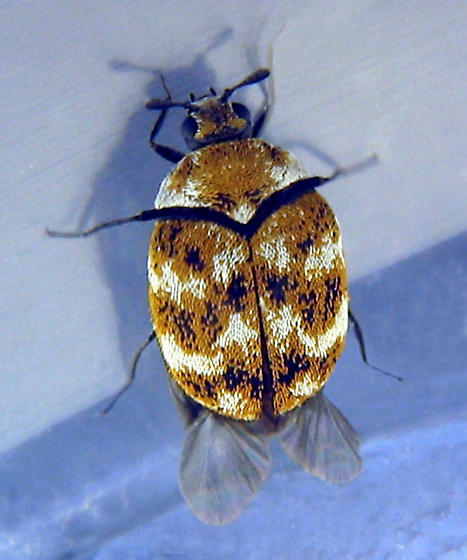 Carpet Beetle - Anthrenus verbasci