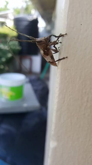 Longhorn Beetle found in St Mary Jaamaica