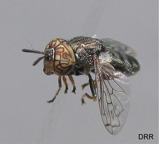 Diptera  Syrphidae - Orthonevra nitida - male
