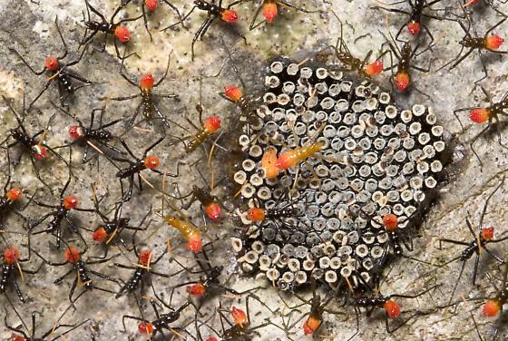 Hatchlings - Arilus cristatus