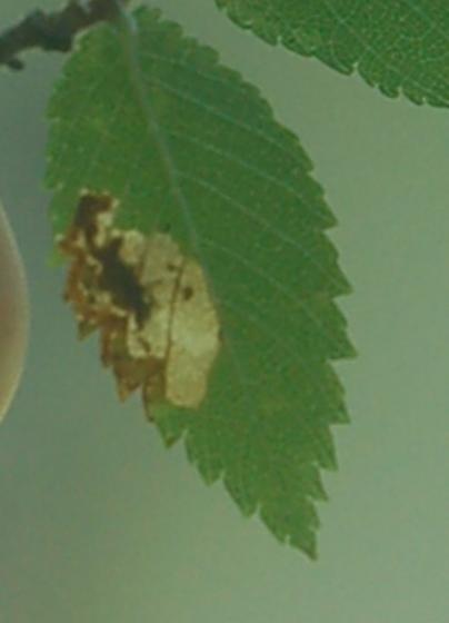 Lake Crabtree leaf miner on Ulmus alata D1088 2018 2