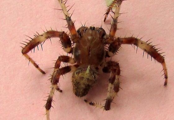 Funnel spider variety? - Araneus