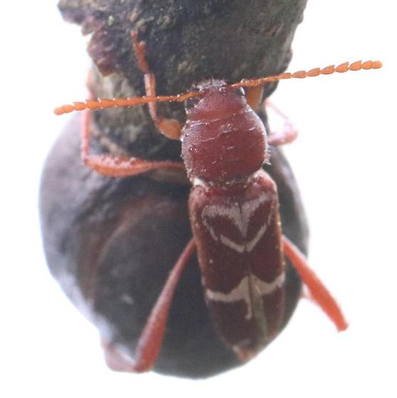 Red & White Bug - Neoclytus senilis