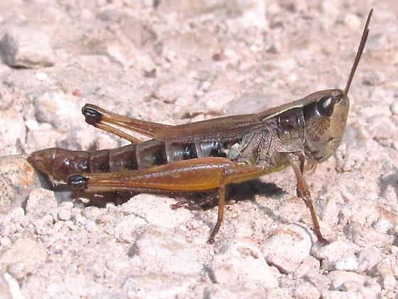 Chorthippus curtipennis - female