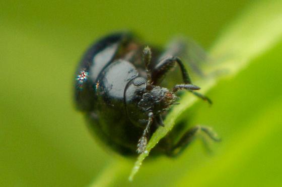 Small Beetle - Microweisea misella