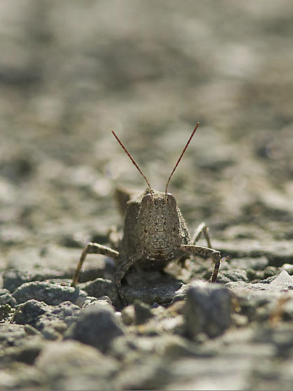 Acrididae to identify - Dissosteira carolina - female