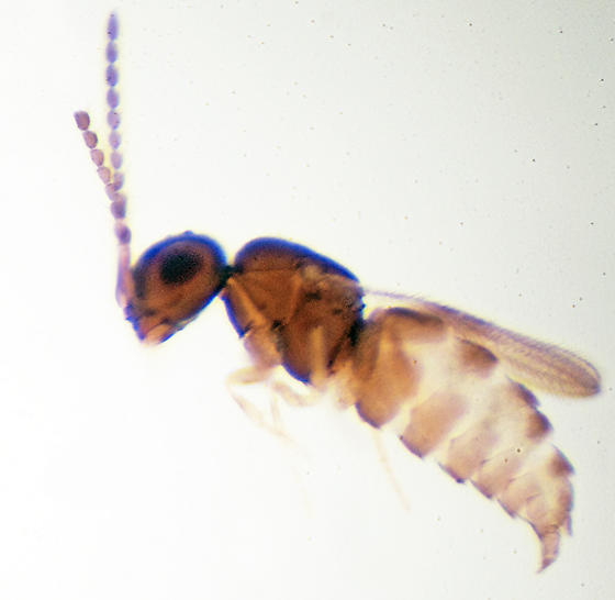 Unknown Parasitic wasp