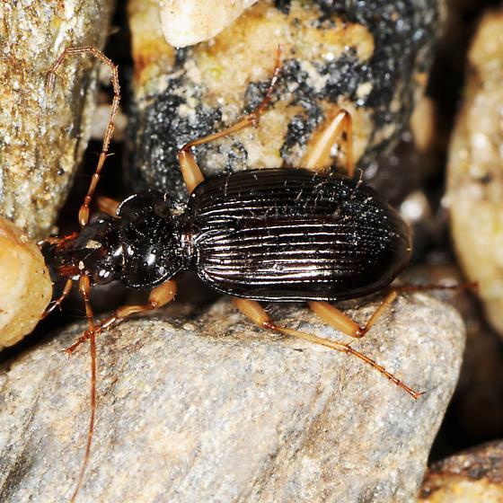 Ground beetle beneath rock near brook. Nebria pallipes? - Nebria pallipes