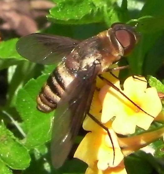 Bee fly? - Exoprosopa brevirostris