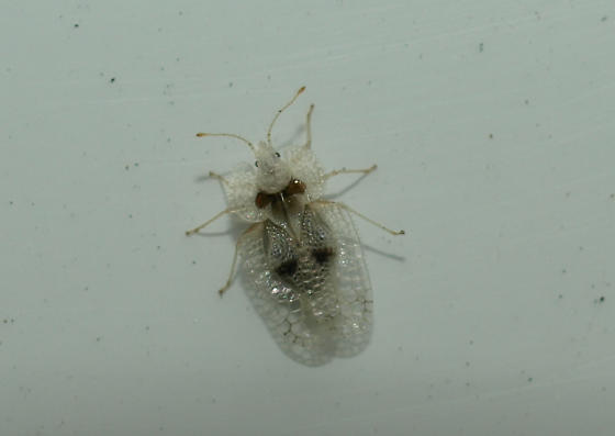 Small White Flying Bugs In House 45degreesdesign. Small White Flying Bugs In House   45degreesdesign com